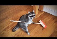 View Funny Raccoons (HD) [Epic Laughs]