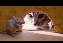 Xem FUNNIEST CATS AND MOUSE |TOM AND JERRY REAL LIFE |Funny Babies and Pets