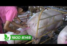 """Xem Khởi nghiệp: Kỹ thuật phối giống cho lợn nái """"bách phát bách trúng"""""""