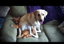 View LABRADORS ARE AWESOME ★ Funny Labradors COMPILATION [Funny Pets]