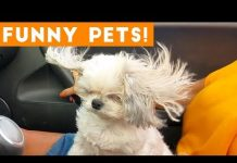 View Funniest Pets & Animals of the Week Compilation September 2018 | Funny Pet Videos