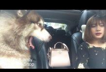 Xem Mật theo chủ đi làm ::) say xe phê đần người ::) Dogs go to work  – Mật Pet Family