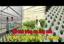 Mô hình trồng rau thủy canh ứng dụng công nghệ cao ở Tân Phước