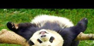 View Funniest Panda Videos EVER