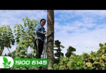 """Bình Định: Hỗ trợ phụ nữ hái dừa bằng """"công nghệ""""   VTC16"""
