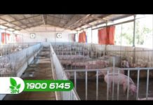Xem Khởi nghiệp 131: Mô hình, kỹ thuật chăn nuôi lợn cho năng suất cao