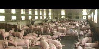 Xem Khởi nghiệp số 108: Chăn nuôi thành công không thể thiếu yếu tố này