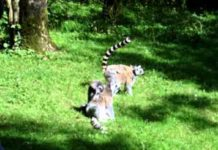 View Funny Jumping Lemurs – (Monkeys)