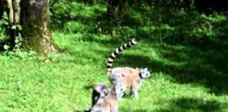View Funny Jumping Lemurs – (Monkeys)