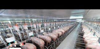Chăn nuôi theo công nghệ Nhật đánh bại dịch tả