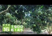 Ngắm vườn bưởi công nghệ cao lớn nhất Tây Ninh | VTC16