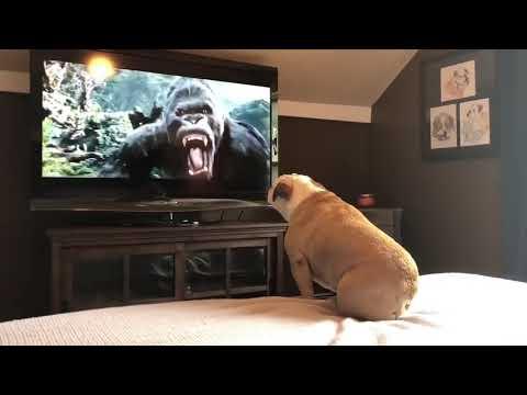 Xem Chó Bull xem phim KingKong ( Chó xem Tivi )