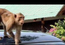 Xem Bầy khỉ xã hội đen cướp đồ, móc túi ở Cần Giờ