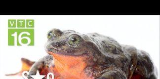 Bỏ túi 2 triệu/ngày nhờ nuôi ếch công nghệ 4.0 | VTC16