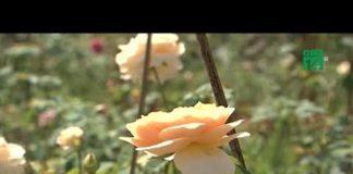 Xem Khởi nghiệp từ trồng hồng cổ | VTC14